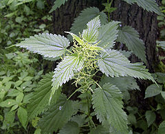 herbal-remedies-nettles