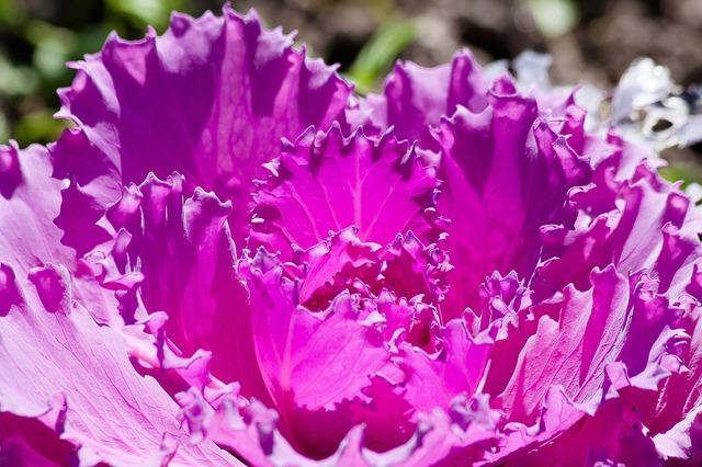 NHSOA-Heart-Health-Cabbage